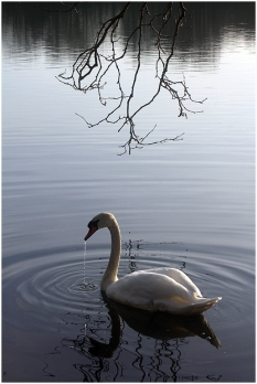White swan in pond - winter light